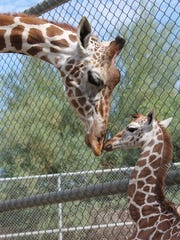 A giraffe was born Aug. 27 at The Living Desert in Palm Desert. It's named Shellie Muujiza.
