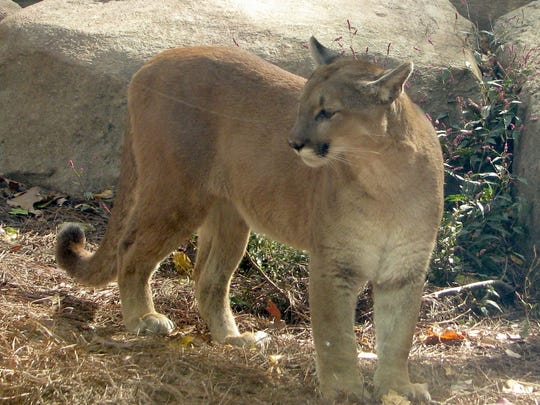 Visit cougars and more at WNC Nature Center.
