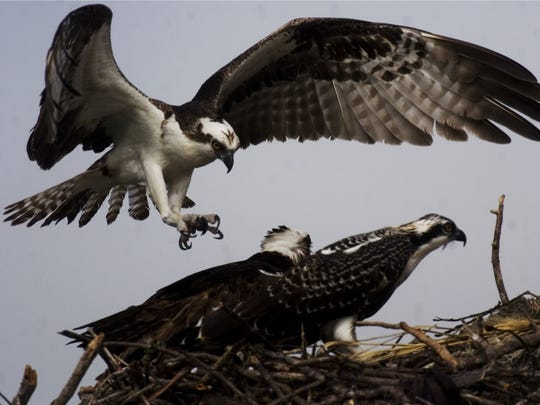 A volunteer expert guide from the Cape Coral Friends of Wildlife will be  on hand, answering questions about ospreys and any other critters spotted along the way..