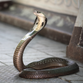Video: King cobra on the loose in Orlando