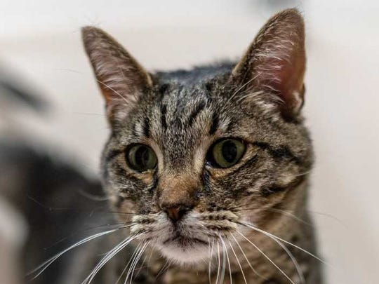 Nala - Female domestic shorthair, about 6 years old. Intake date:4-29-2018