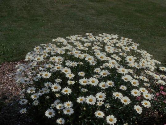 -Perennial-Shasta Daisy.JPG_20140411.jpg