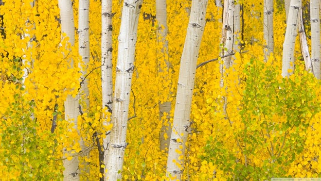 Aspen trees leaves are starting their fall colors on the Smokey Bear Ranger District in time for Saturday's Aspenfest.