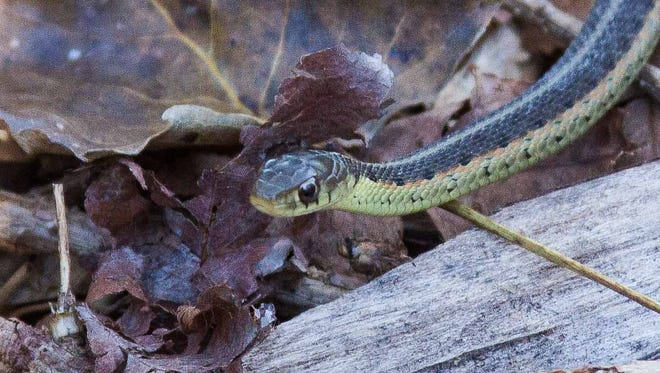 A small garter snake slithers across one of the many trails at the Pierce Cedar Creek Institute.