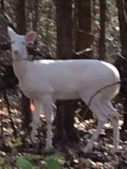 122313albino-deer