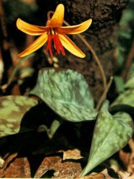 Trout lilies are among the wildflowers that grow in the Holmes Educational State Forest.