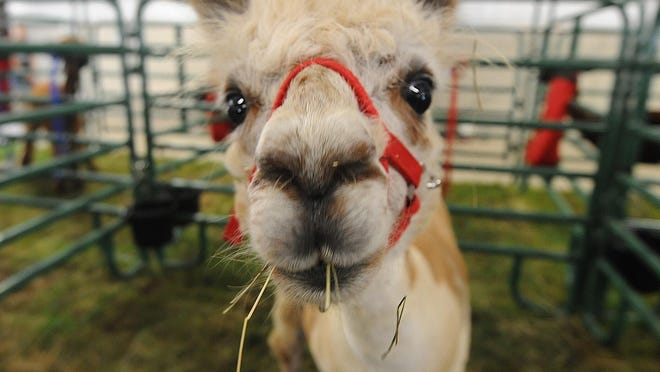 An alpaca enjoys lunch in her pen Monday at the Crawford County Fair.