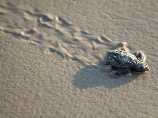 A Kemp's ridley sea turtle hatchling walks toward the sea during Padre Island National Seashore's first public hatchling release of 2017 on Wednesday, June 7, 2017.