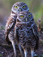 A pair of burrowing owls keep an eye out for predators near their burrow in Cape Coral.