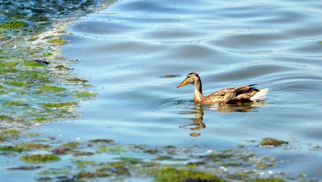 A duck swims along the bay of Green Bay shore near an accumulation of algae off Communiversity Park near the University of Wisconsin-Green Bay in July 2012. Concerns have been raised about a dead zone in the bay that no longer contains enough oxygen to support most fish and other living things.
