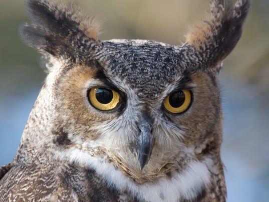 Closeup of a Great Horned Owl (Bubo virginianus)