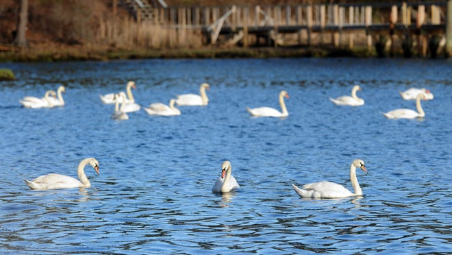 Swans populate Popponesset Bay between Mashpee and Cotuit. The Conservation Law Foundation has threatened to sue Willowbend Country Club over the club's alleged role in contributing to nitrogen pollution in the bay.