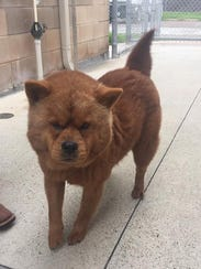 This dog, which appears to be a Chow Chow, was seized