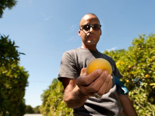 Jose Garcia, a citrus field supervisor for Sun Pacific, shows the effects of dry conditions in the Valencia crop being harvested. Valencias should not be this soft or squeezable.