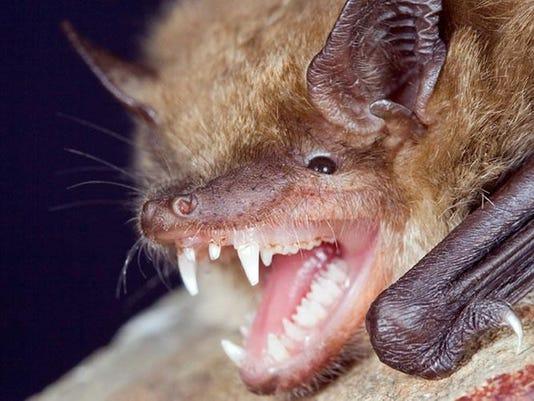 big_brown_bat1