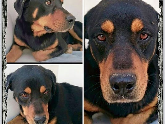 Rottweiler found in crate in canal.