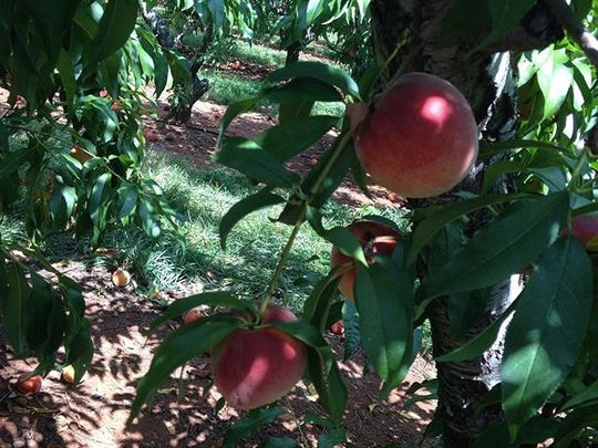 Peaches at Chiles Peach Orchard