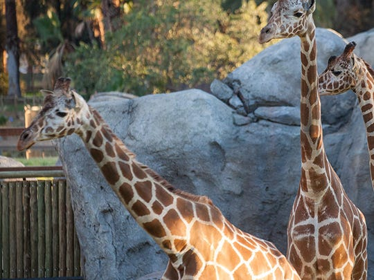 The new African Adventure exhibit features a new Giraffe