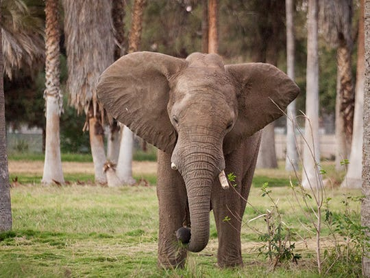 The African Adventure exhibit at the Fresno Chaffee Zoo is a sprawling 13-acre multiphase expansion of the park that provides a common ground for African elephants, rhinos, giraffes, wildebeests, and several other animals of the savannah to all roam together.
