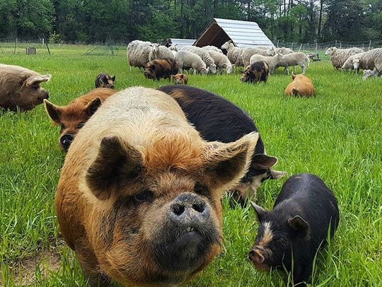 Accomac's Perennial Roots farm raises breeds well suited