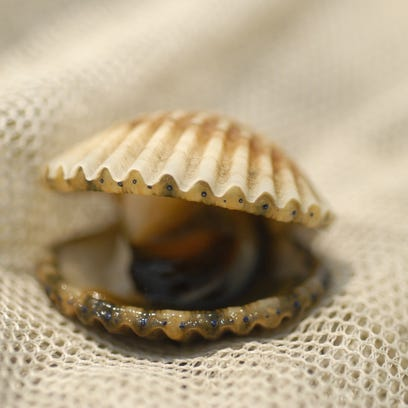 A bay scallop found amongst the eel grass in South