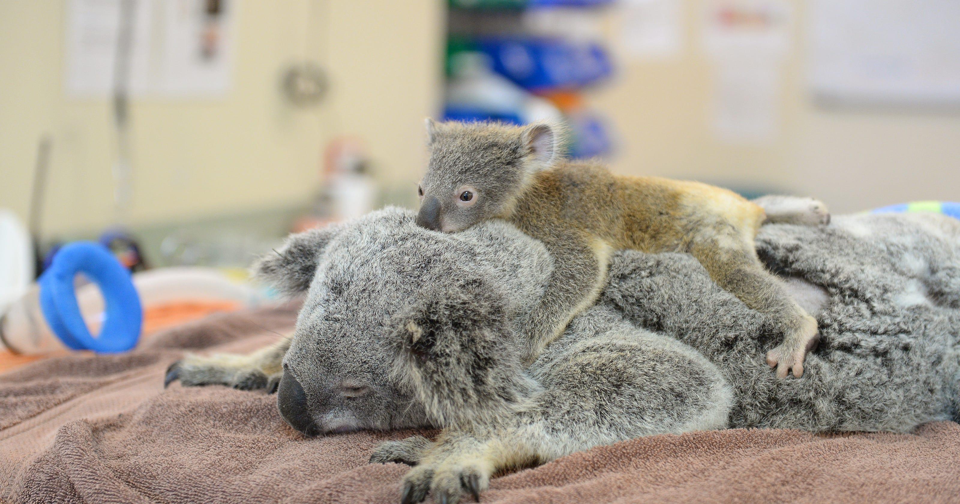 Baby koala hangs on to mom during life-saving surgery