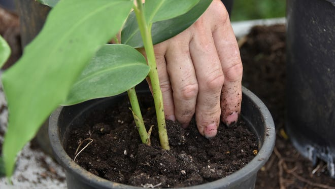 Shannon Murphy, owner of Flores Santa Rita, shares gardening tips on June 18. Shannon here demonstrates the right amount of soil for a potted plant.  Masako Watanabe/PDN/mwatanabe@guampdn.com