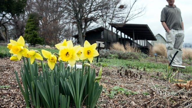 Horticultural apprentice Ted Martini stands near an unseasonable growth of daffodils known as Narcissus February Gold at the Yew Dell Botanical Gardens In Crestwood on Dec. 23, 2015. The recent warm weather has prompted premature blooms throughout the historic property.