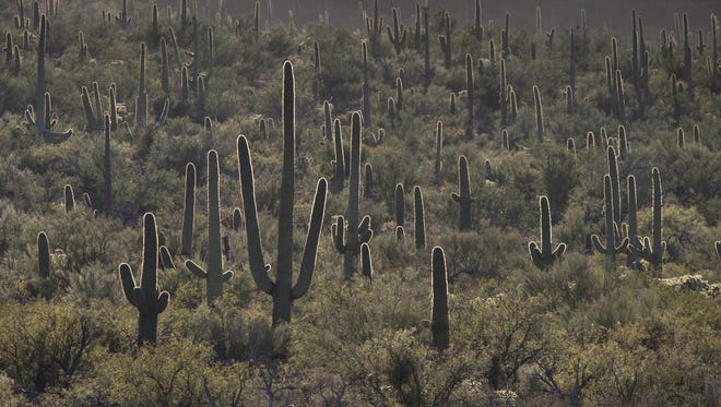 Saguaros poke out from the desert near Golden Gate Road on Feb. 12 at Saguaro National Park.