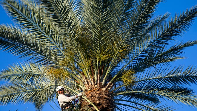 Minimizing palm-frond waste is part of the city's Reimagine Phoenix sustainable initiative, which aims to turn trash into usable resources, and the city is seeking ideas. Roberto Najera trims a date palm, May 4, 2016, near 60th Street and Camelback Road, Phoenix, Ariz.