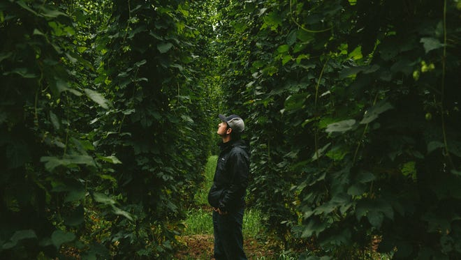 Blake Crosby, CEO and President of Crosby Hop Farm in Woodburn, examines hop bines in one of his hop fields.