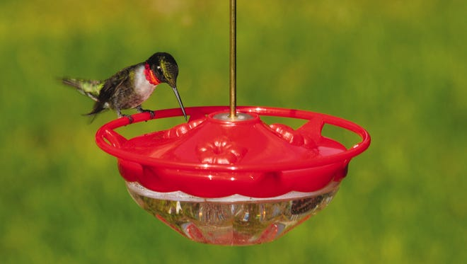 Young hummingbirds love to explore and check every possible item that might be a food source.