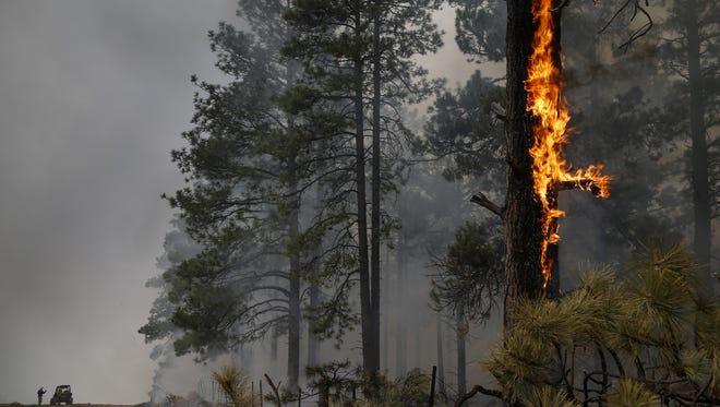 Flames climb a pine tree during the A1 Mountain prescribed burn northwest of Flagstaff in early May.