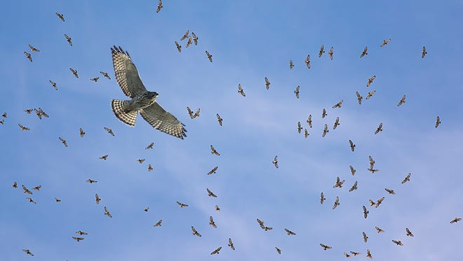 The hawk migration on Grosse Ile in 2017.