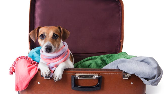 Cute pet at bag with brightly colored things in it with stylish pink scarf around her neck. Take me with you on vacation. White background