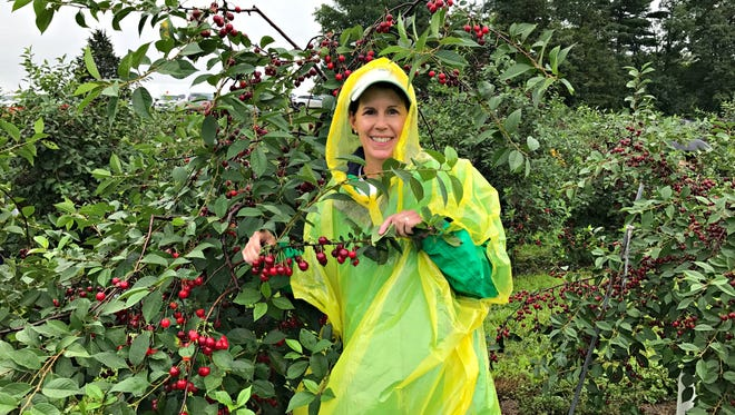 Braving the rain, the DIY Dutchess picks a serious amount of sour cherries.