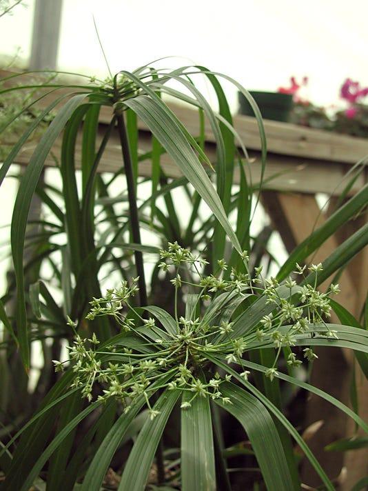Gardening-Papyrus_Atzl.jpg