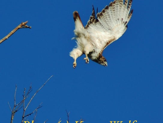 A screaming Red-tailed hawk descending on its prey.
