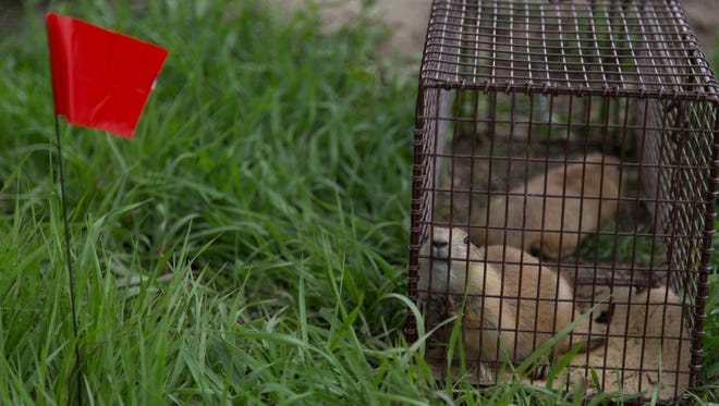 Relocation of prairie dogs from private property near the intersection of Lemay Avenue and Buckingham Street to city-owned Cathy Fromme Prairie Natural Area began in May.