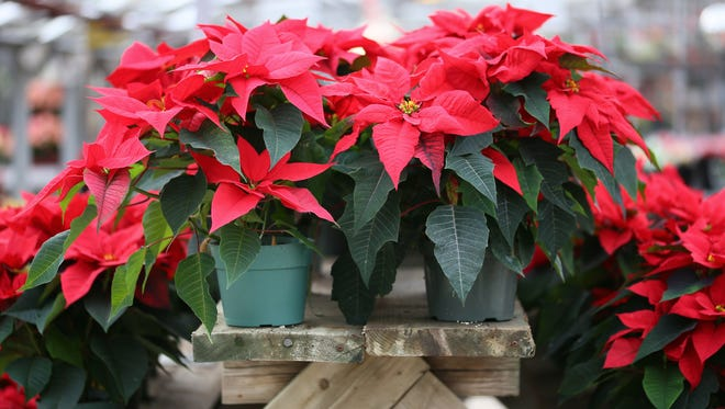 Get your holiday poinsettias and support the Cumberland County 4-H Leaders Association.