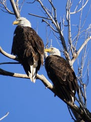 A pair of bald eagles perched in a tree near Windsor. Bald eagles are a common sight in south Fort Collins, at Fossil Creek Reservoir Natural Area.