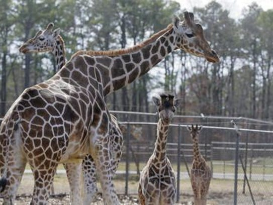 Baby giraffes walk with an adult at Six Flags Great