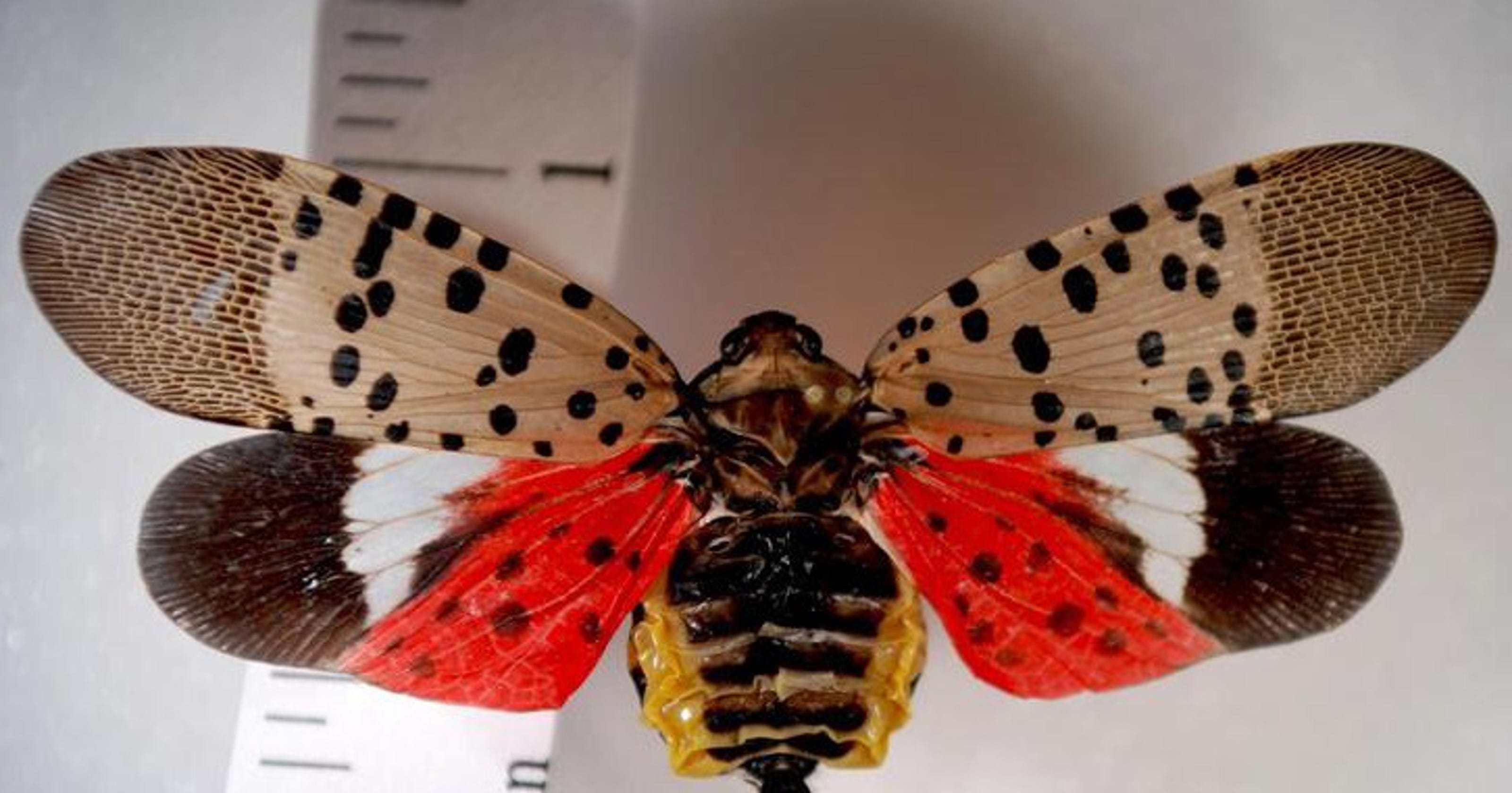 Spotted lanternfly, a new tree-destroying bug, found in New Jersey