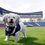 Hank the dog, the Milwaukee Brewers' mascot.