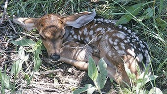 This fawn may just be hiding while waiting for her mother to return from foraging for food.