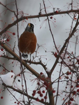 Snow didn't bother the robins who descended on this berry tree.