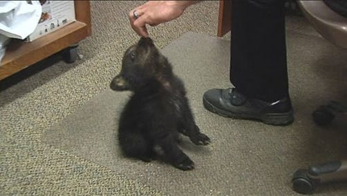 In this image from KPIC-TV video Tuesday, May 20, 2014, police in Myrtle Creek, Ore., watch after a female bear cub dropped off at the police station after a boy found the cub inside the city limits Monday, May 19, 2014. The Oregon Department of Fish and Wildlife transferred the cub to a wildlife center near Corvallis. Tim Walters with ODFW said Thursday, May 22, that the cub will likely be sent to a zoo.