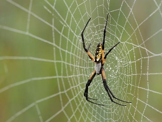 Yellow_Garden_Spider_0273.jpg