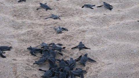 Sea turtle hatchlings head for the ocean.