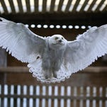 Snowy owl recovers at Raptor Rehab, to be released in Wisconsin